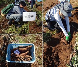 イックスイートの芋掘り体験